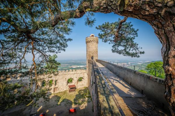 350 Jahr alt ist die Sagenkiefer auf Schloss Auerbach
